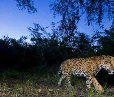 Crece la población de Jaguar