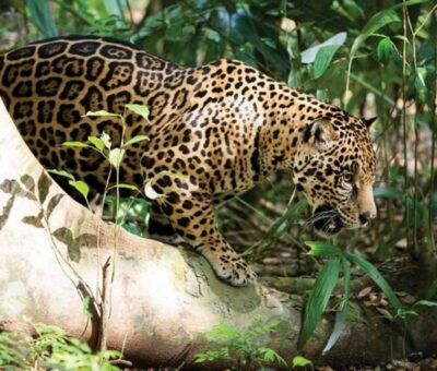 Crece la población de jaguares en Colima
