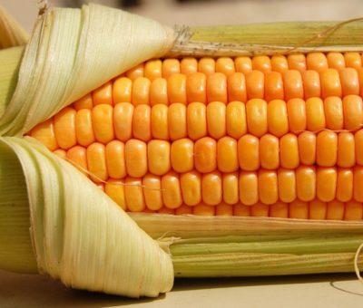 México importó casi 16 millones de toneladas de maíz amarillo
