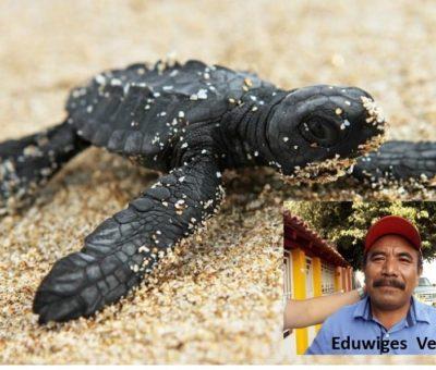 En Mayo inicia por un mes,  programa de liberación de Tortuga Negra,  en Colola