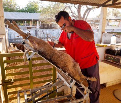 Avanza proyecto de universidades de Colima y Guadalajara sobre fertilidad en ovejas